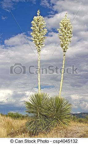 Stock Photo of Soaptree Yucca Flowers 4.