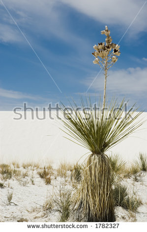 Yucca Plant Stock Photos, Royalty.