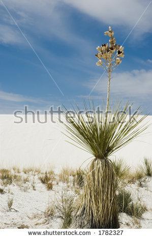 Yucca Plant Stock Photos, Royalty.