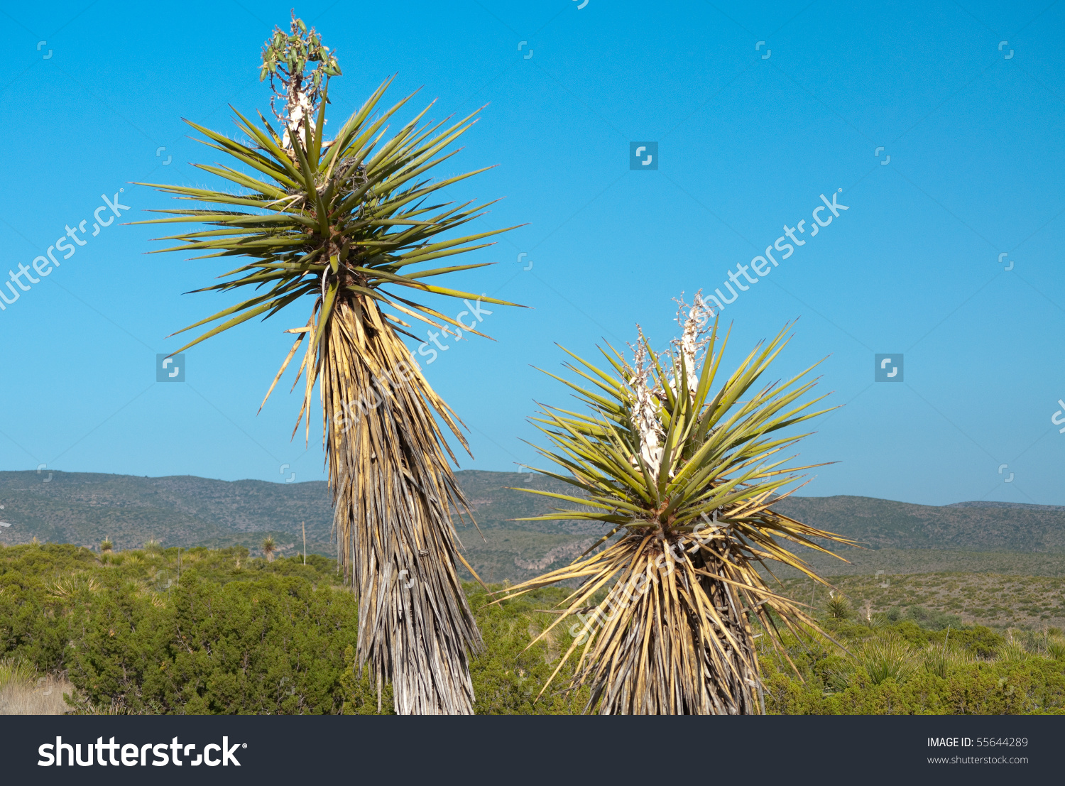 Soap Tree Yucca Stock Photo 55644289 : Shutterstock.