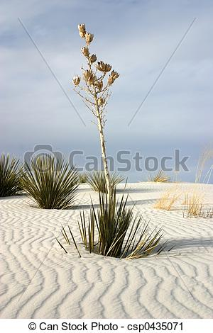 Stock Photography of White Sands Yucca.
