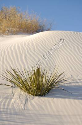 Stock Photography of Soaptree Yucca at White Sands National.