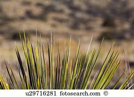Yucca plant Stock Photo Images. 1,801 yucca plant royalty free.