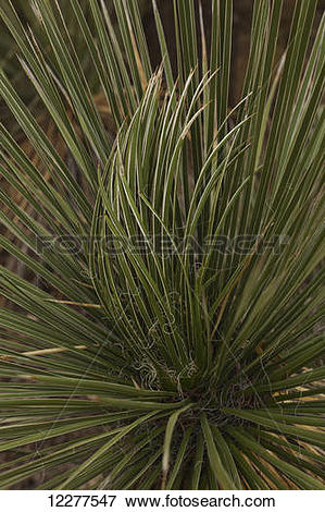 Picture of Soaptree Yucca (Yucca elata), Living Desert Zoo and.