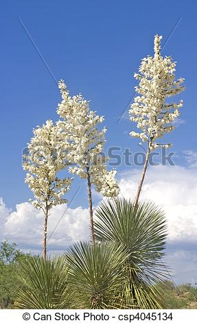 Stock Photo of Soaptree Yucca Flowers 2.