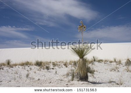 Yucca Glauca Stock Photos, Royalty.