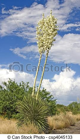 Stock Photos of Soaptree Yucca Flowers 3.