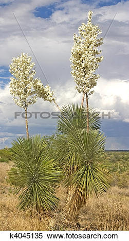 Stock Image of Soaptree Yucca Flowers 1 k4045135.