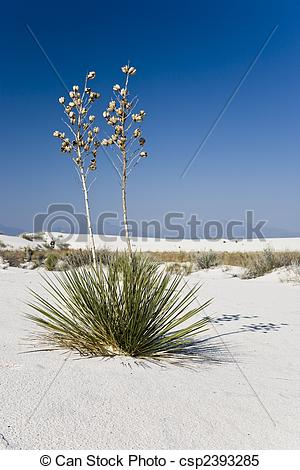 Stock Images of Soaptree yucca.