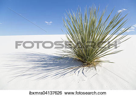 Stock Images of Soaptree (Yucca elata) on white sand dune, White.