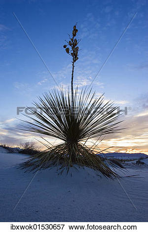 "Picture of ""Soaptree Yucca (Yucca elata), red sunset, White Sands."