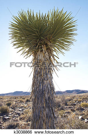 Stock Images of High Desert Soaptree Yucca Plant k3038866.
