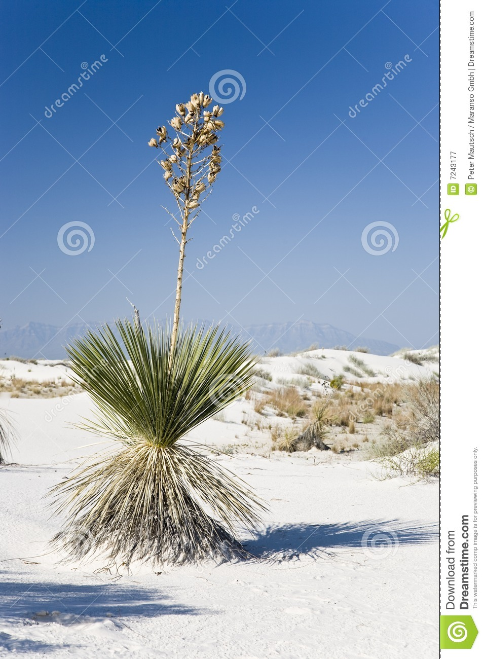 Soaptree Yucca Royalty Free Stock Photography.
