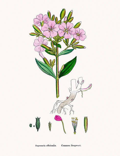 Soapwort Clip Art, Vector Images & Illustrations.