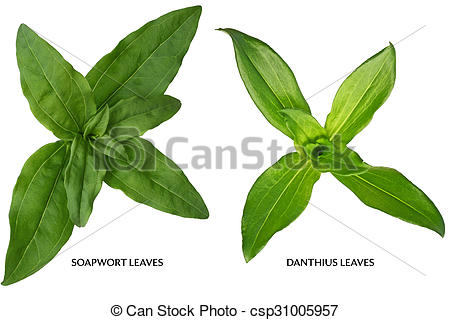 Stock Images of Soapwort and dianthus Leaf.