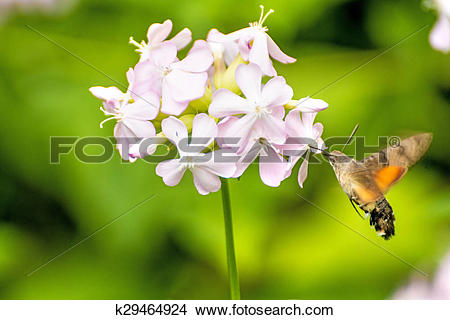 Stock Photo of Common soapwort with Hummingbird hawk.