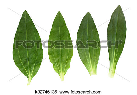 Stock Images of Soapwort and Dianthus Leaf k32746136.