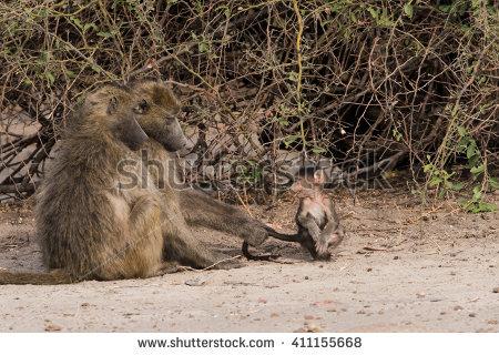 Lovely Baboon Stock Photos, Royalty.