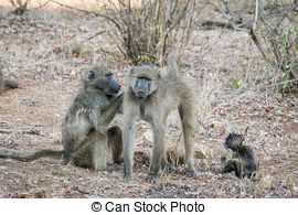 Stock Image of Baboons Grooming.