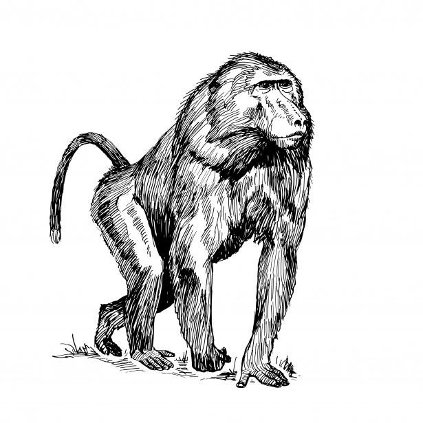 Baboon Clipart Illustration Free Stock Photo.