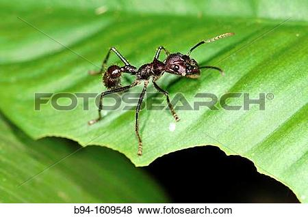 Pictures of Ant, social insect of the family Formicidae, Madidi.