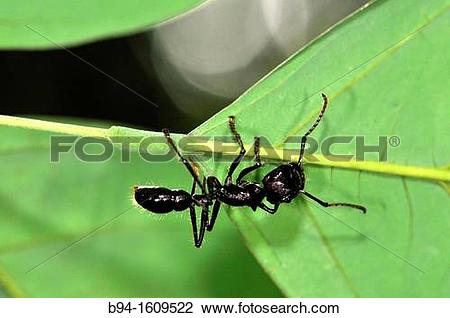 Stock Photo of Ant, social insect of the family Formicidae, Madidi.