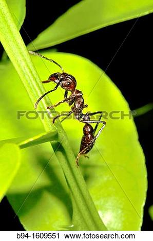 Stock Photography of Ant, social insect of the family Formicidae.