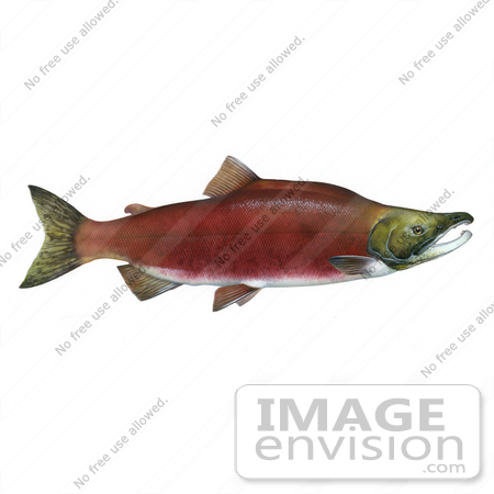 Clipart Image Illustration of a Sockeye Salmon Fish (Oncorhynchus.