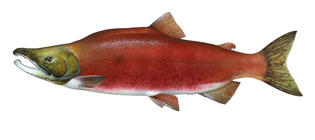 Sockeye Salmon Clipart.