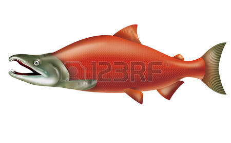 116 Sockeye Salmon Stock Vector Illustration And Royalty Free.