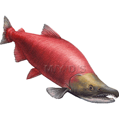 Red salmon sockeye salmon blueback salmon clipart graphics.
