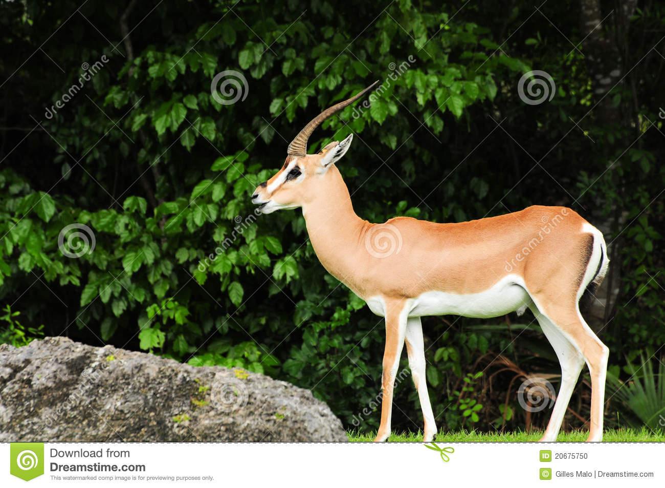 Grant's Gazelle Soemmerring's Gazelle Stock Photo.