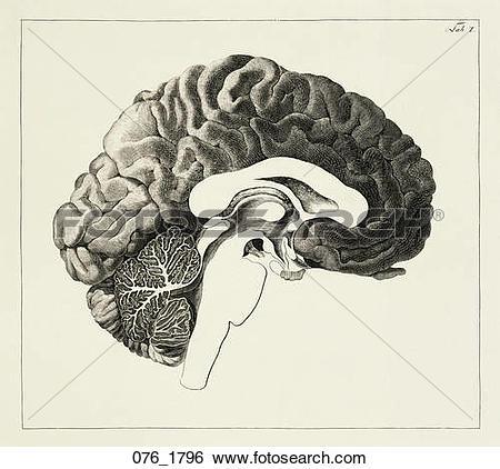 Stock Illustration of Antique Anatomical Illustration (copper.