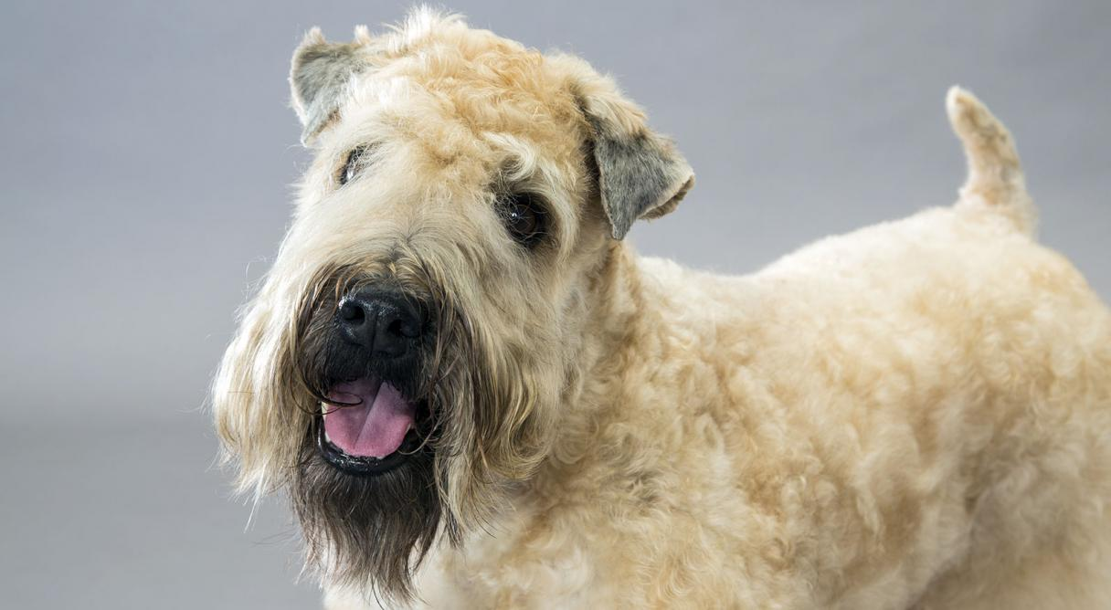 Soft Coated Wheaten Terrier Dog Breed Information.
