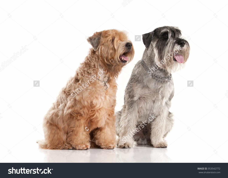 Miniature Schnauzer And Irish Soft Coated Wheaten Terrier On White.