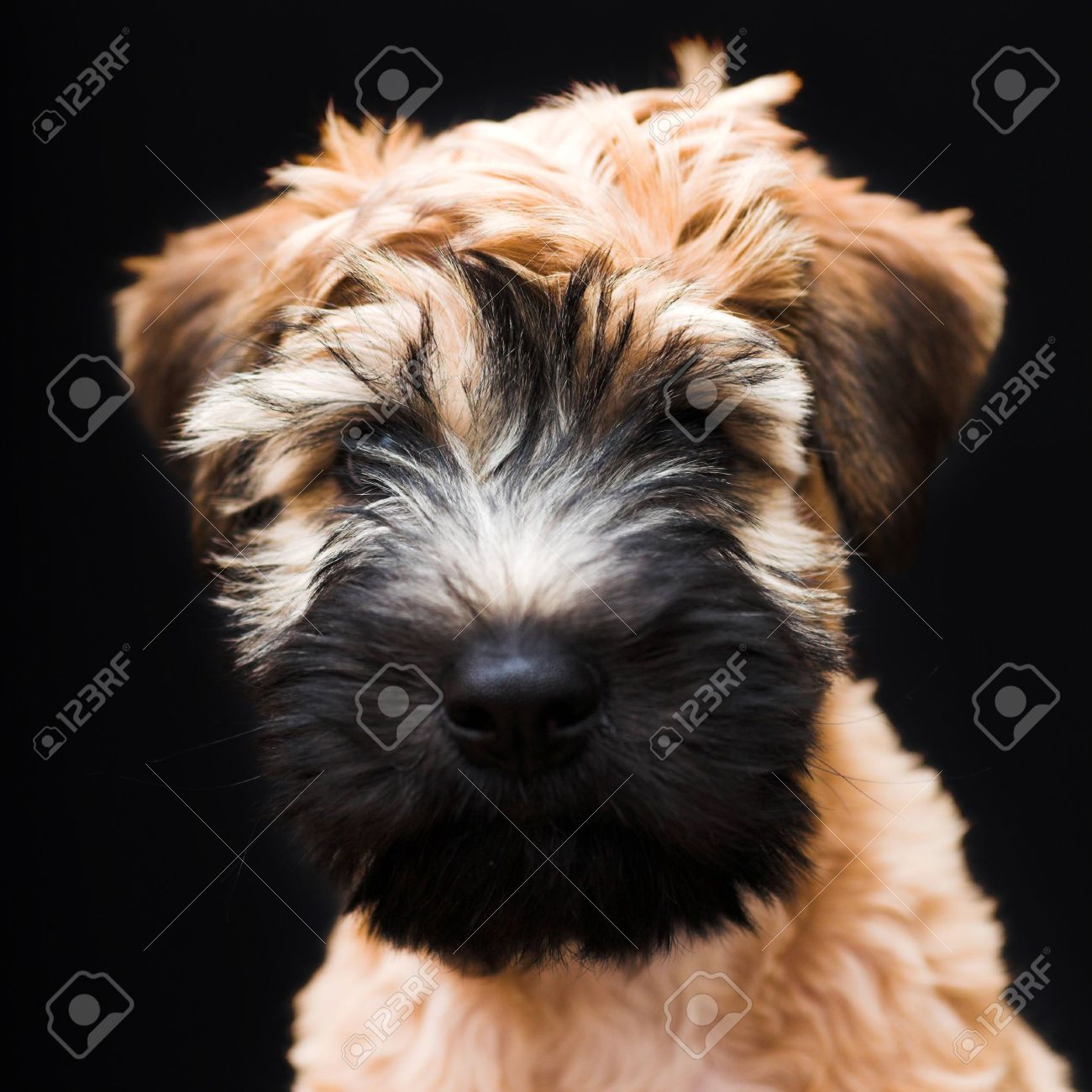 Collection Soft Coated Wheaten Terriers Pictures.