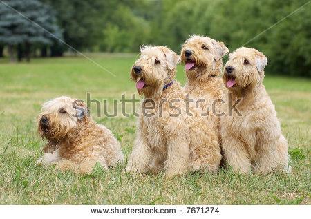 Ireland Soft Coated Wheaten Terriers Summer Stock Photo 7671274.