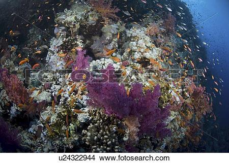 Stock Photo of Purple soft coral (Dendrophyllia klunzingeri.