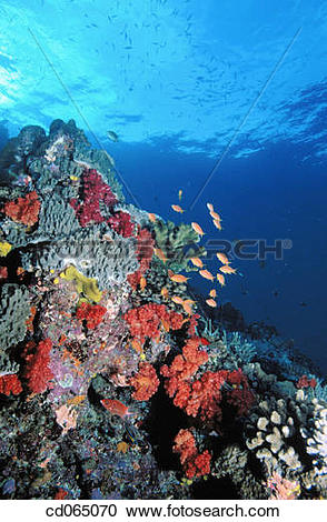Stock Photography of Soft Corals and Goldfish. Fiji Islands.