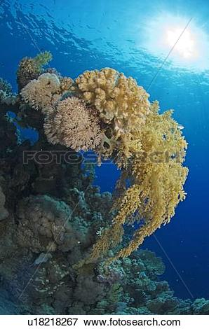 Picture of Coral and soft coral outcrop, blue background with sun.