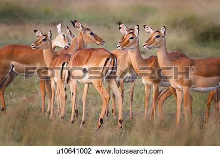 Stock Photo of Close up view of group of female impalas standing.
