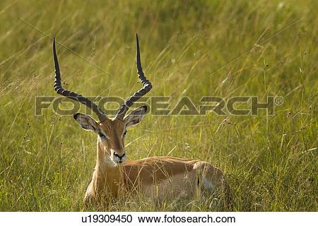 Stock Photography of Detail view of male impala face, side view.