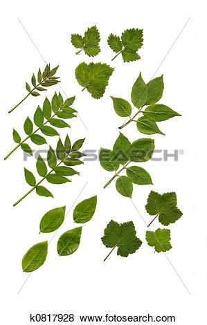 Stock Illustration of Soft Fruit Leaves k0817928.