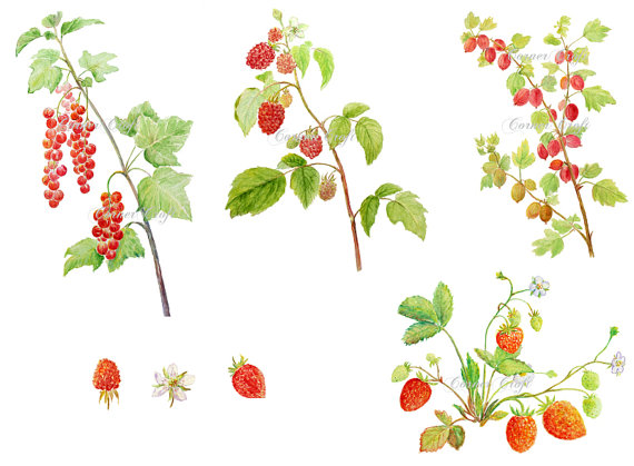 Digital watercolour soft fruit summer berry red currant.