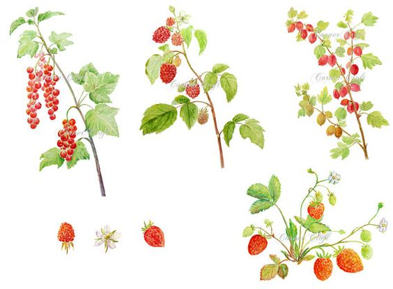 Digital watercolour soft fruit summer berry red currant gooseberry.