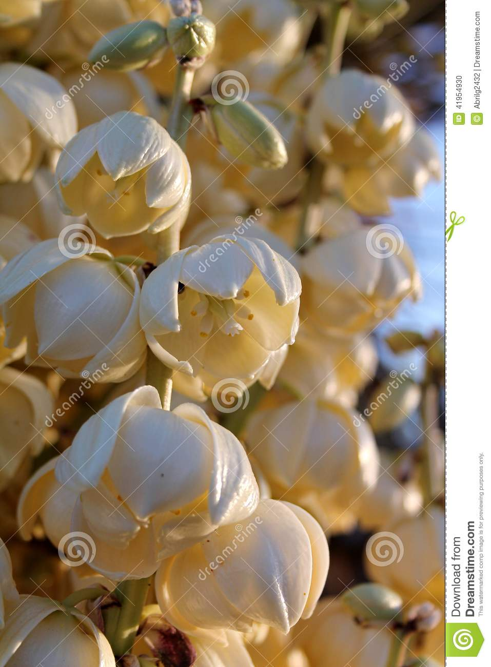 Yucca Blossom With Sunset Glow Stock Photo.