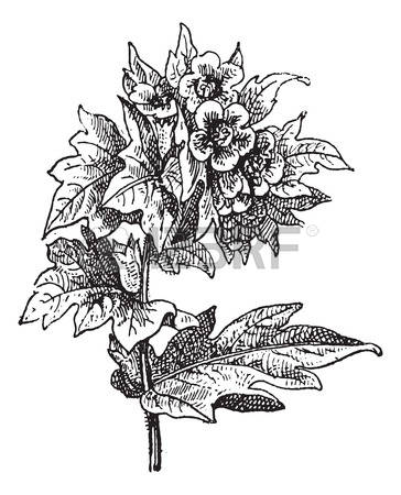 122 Solanaceae Stock Illustrations, Cliparts And Royalty Free.
