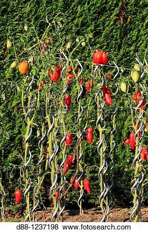 Pictures of Tomato plants Solanum lycopersicum Order: Solanales.