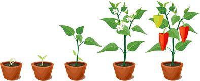 Solanaceae Stock Illustrations.