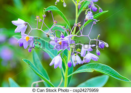 Stock Images of Solanum melanoxylon, Solanaceae, southern Brazil.